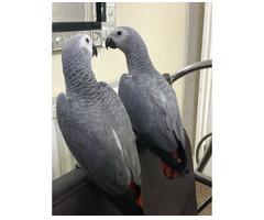 Nette sprechende graue Papageien zum Verkauf.