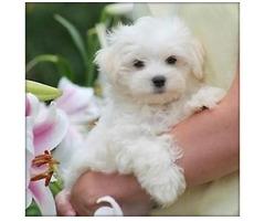 Süße Mini Malteser Welpen