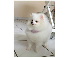 Pomeranian Spitz Mädchen