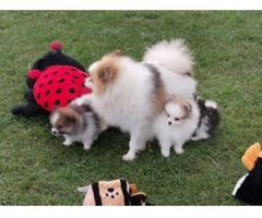 Fantastisch Schöne Pomeranian Welpen