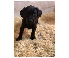 Entzückende Labrador-Welpen zu verkaufen.