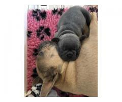Französische Bulldogge Welpen in blau/blue mit Ahnentafel