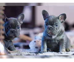 französische Bulldoggenwelpen Whatsapp +4915171139333