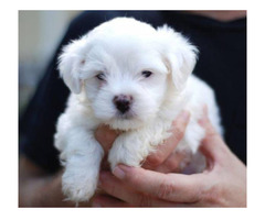 Mini Malteser Welpen suchen WhatsApp : +4915171139333