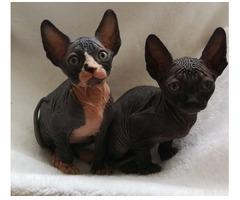 Zwei wunderschöne Sphynx-Kätzchen angeboten