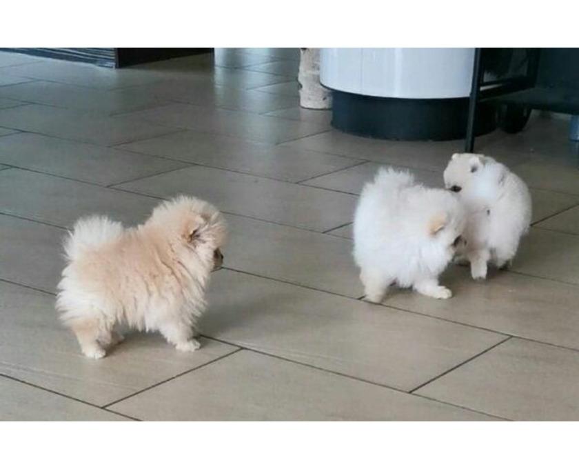 Pomeranian Welpen für die Annahme - 1/1
