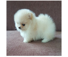 Super süßer Teddy Pomeranian Zwegspitz