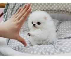 Pomeranian Welpen für die Annahme