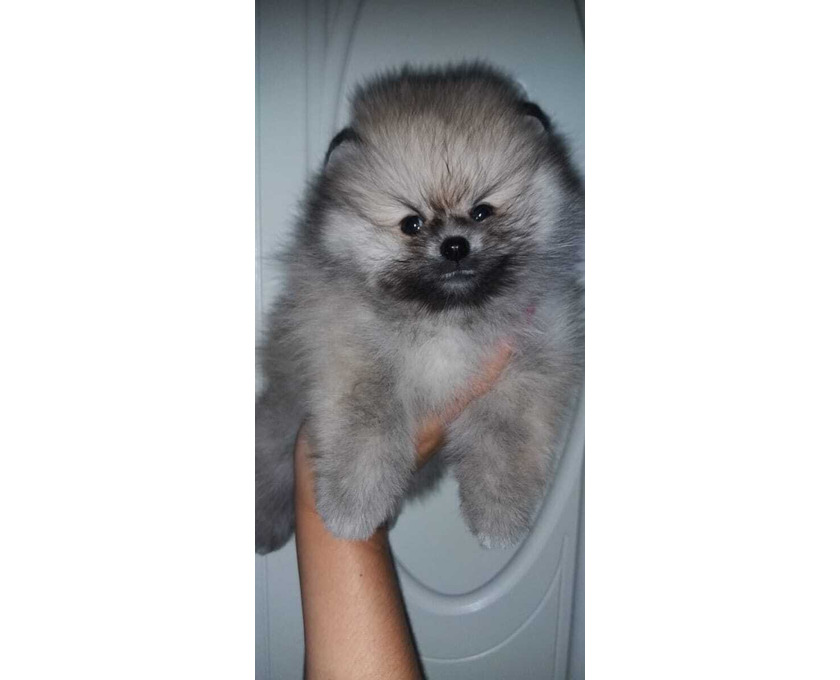 Pomeranian Welpe Spitz - 2/2