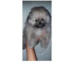 Pomeranian Welpe Spitz