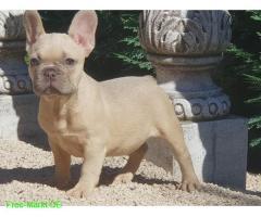 Französische. Bulldogge Welpen mit papieren