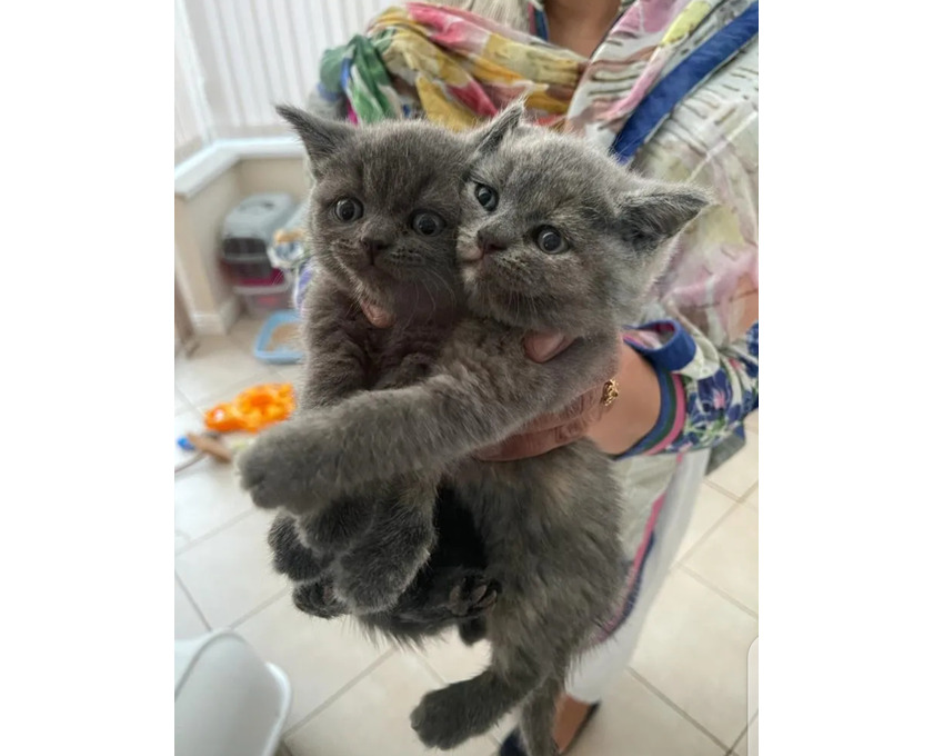 European short hair kittens ready to leave - 1/3
