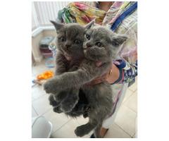 European short hair kittens ready to leave