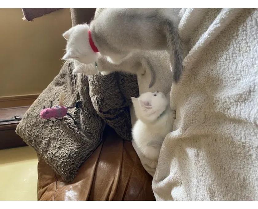 European short hair kittens ready to leave - 2/3