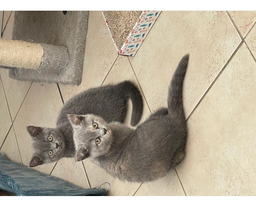 European short hair kittens ready to leave - 3/3