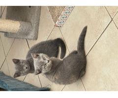 European short hair kittens ready to leave - Bild 3/3
