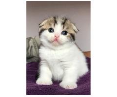 Schöne Scottish Fold Kätzchen.