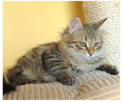 Reine sibirische Kätzchen.