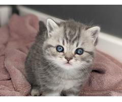 Hervorragendes Britisch Kurzhaar Kätzchen.