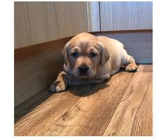 Süße Labrador-Welpen für dich