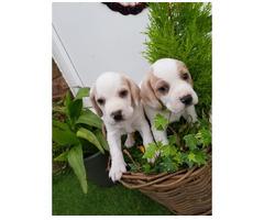 Schöne Beagle-Welpen.